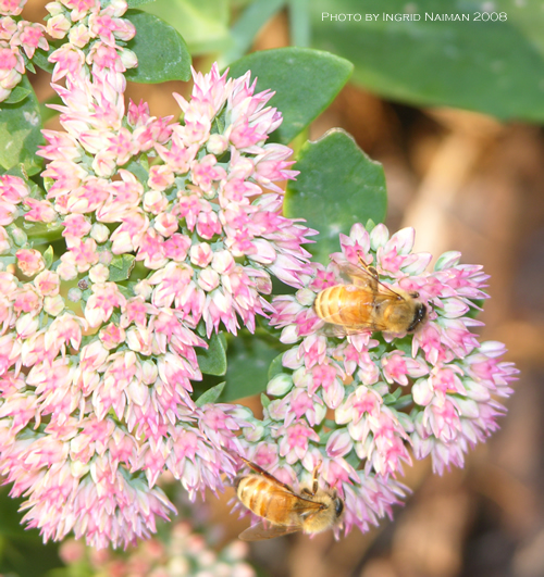 Bees - Autumn Joy Sedum
